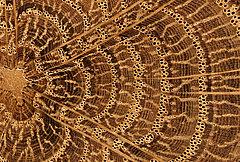 Eiche Hirnholz, poliert Untere Bildkante ca 10 mm